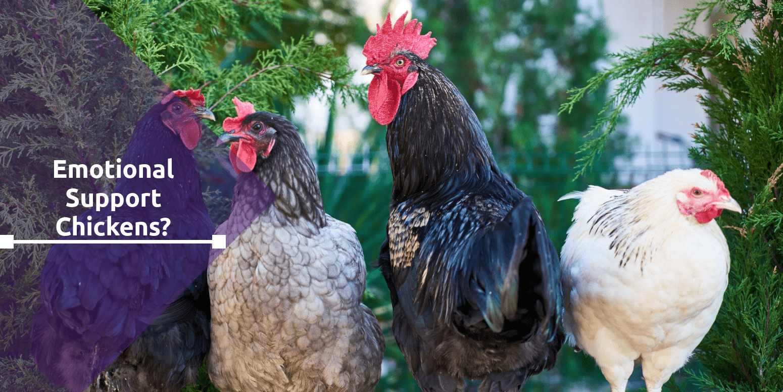 Emotional Support Chickens